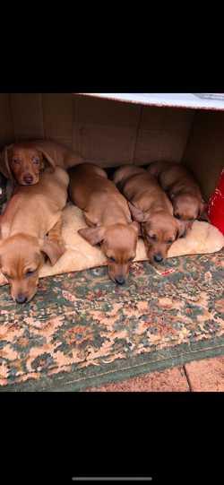 DACHSHUND PUPPIES   4 Males, Tan Colour, $2,300 each   7 weeks old. BIN: 0000939257339 ...