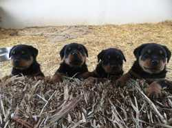 PUREBRED ROTTWEILER Puppies, 2 males, 2 females, Vet checked, vacc, wormed, 7 weeks old $1500 eac...