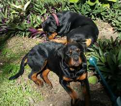 ROTTWEILER PED. PUPPIES.   Ready now for loving new homes.   BIN: 004291502791.