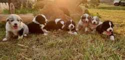Aust Shepherd Pups Six Aust Shepherd male pups 2 greys, 4 tri colours, all vaccinated and micro chip...