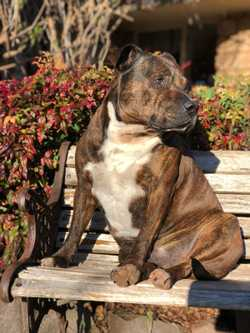 """7yr old, very friendly male staffy. Much loved family pet """"Enzo"""" went missing Tue..."""