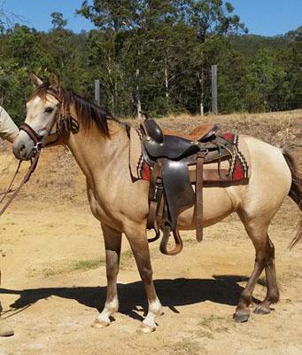 Beautiful 8 yo Buck skin Mare,   14 hh, very quiet to handle , float, trim hooves, needs work...