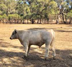 BULL