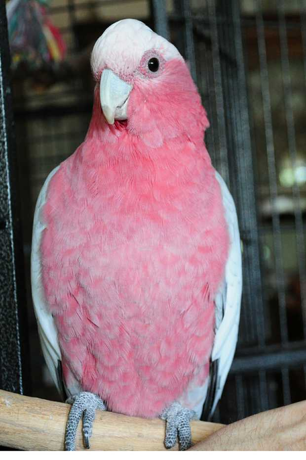 MISSING GALAH