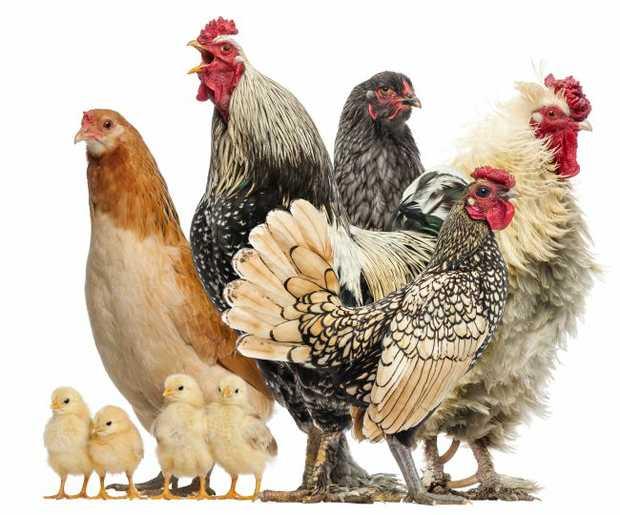 GRAND OPENING!    Virginia Poultry & Bird Sales   Chooks & Birds Galore    Huge...