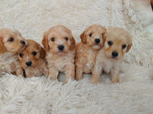 Supply number: CRM 0271329 Queensland Dog Breeders Association number: BIN0000969328506 Five...