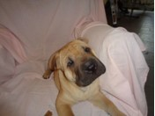 Shar Pei - RED