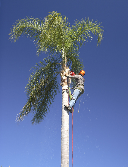 TREE LOPPING & PALM & TREE REMOVAL   Fully Insured!   Call Today!