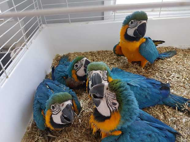 Blue Gold Macaw Parrots   Handraised. Tame Friendly.   Delivery.   Call for...