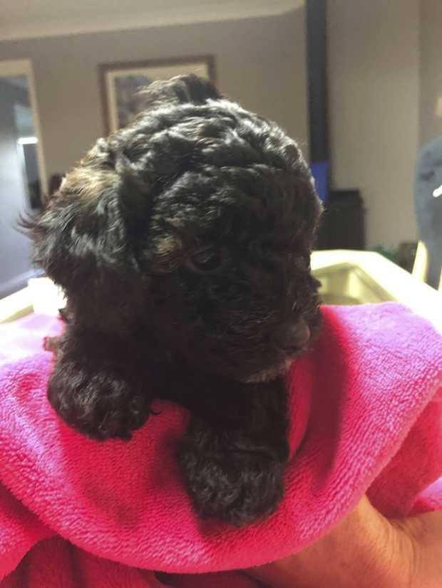 Shmoodles (Purebred Poodle x Maltese/Shihtzu)  1 girl left!!!  e have 1 female pup left who we call...