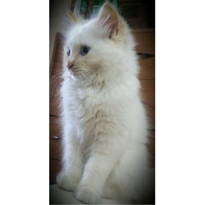 Purebred Ragdoll kittens  16 wks old,  microchipped,  immunized,  vet...