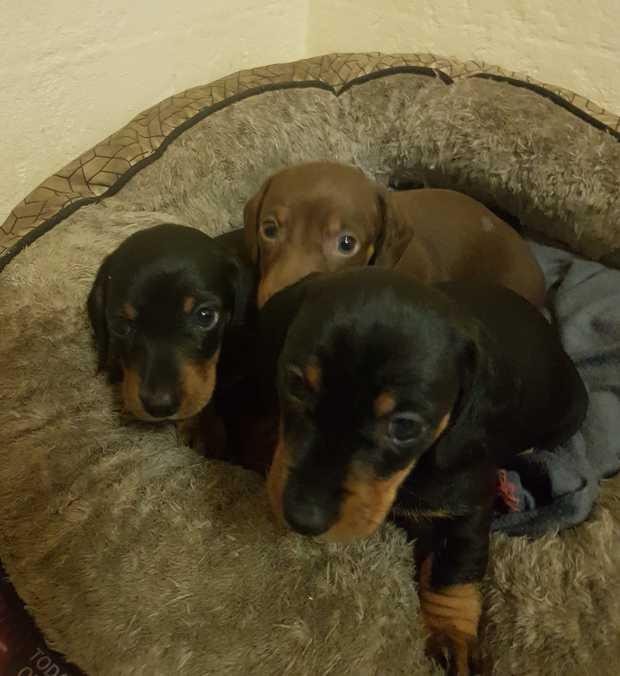 DACHSHUND PUPPIES   1 x Male, 1 x Female Black and Tan $1,500.   1 Chocolate Tan Male...