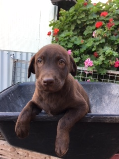 LABRADORS