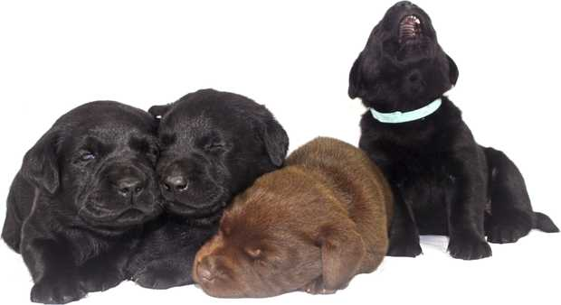 1 Black Female & 2 Black male pups will be available on the 8th of June.Pups will come vaccinated...