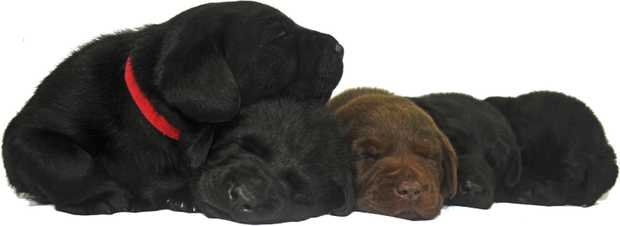 Purebred Labrador pups from a registered breeder. 1 Black female 2 Black males ready for their new...