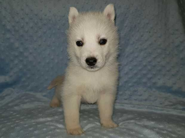 We have 10 gorgeous Siberian husky puppies. Four females and six males. Ready for their forever homes...