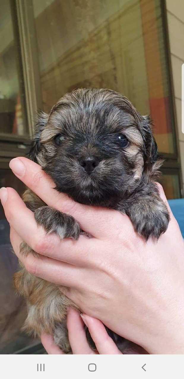Maltese x shihtzu puppies Mal-shi  NOOSA PET RESORT BIN 0002344091665 Exceptional pups, Designer...