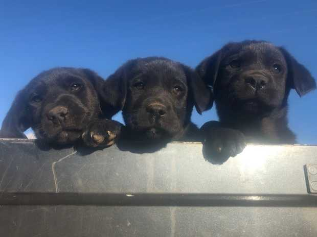Pure Bred Black Labrador pups, 2 male, 1 female. Microchipped, Vaccinated, wormed and vet checked. BIN...