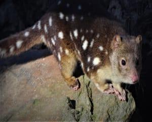 When the sun goes down and stars come out, many of Softfoot Sanctuarys native Australian animals come...