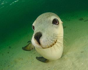 Swim with the playful sea lions of South Australia! Our sea lion swim is truly a thing to try before...