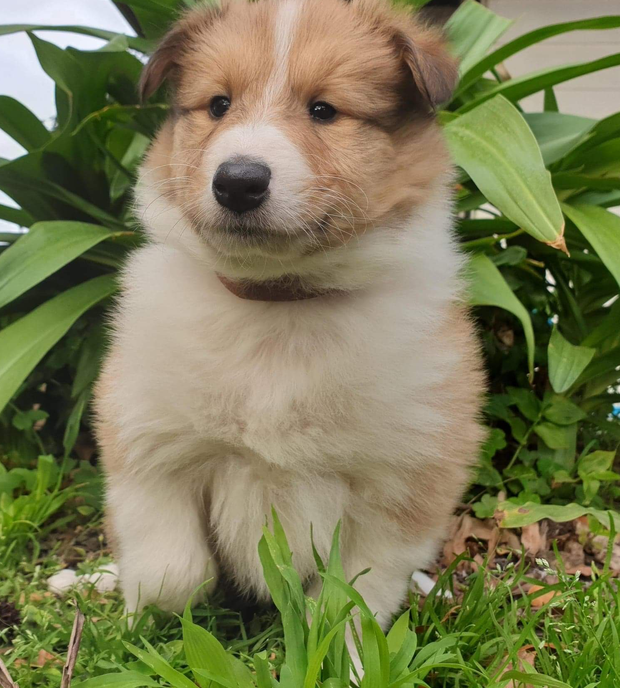 Take home your newest family memeber! We have six beautiful purebred Rough Collie / Lassie girls.