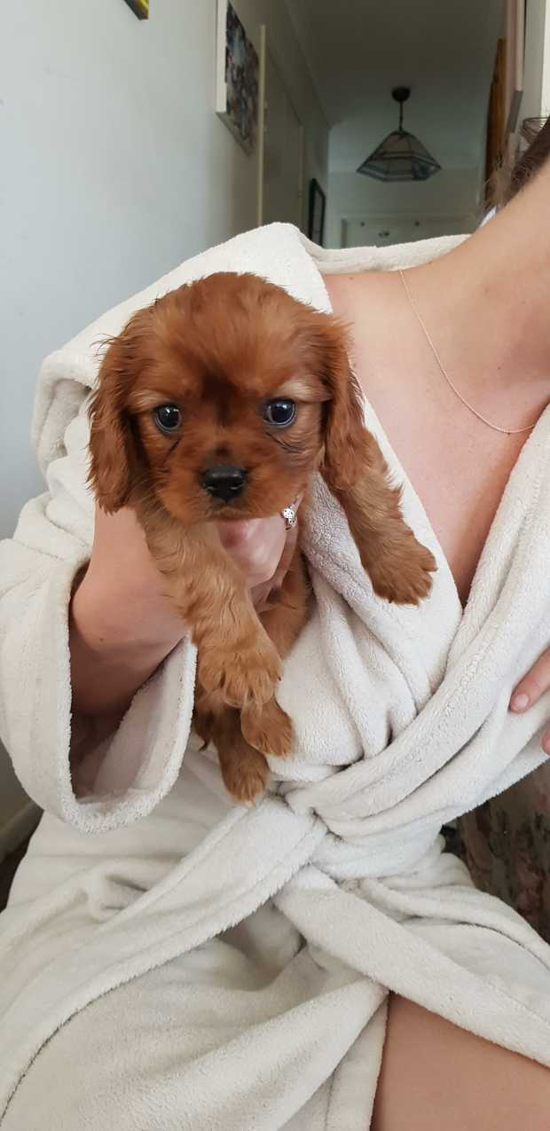Purebred Cavaliers    Will be ready end of September 28th   2 Boys 1 Ruby 1 B&T $2000 Each    3...