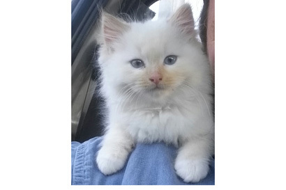 Purebred Ragdoll kittens
