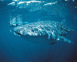 Swim with Whale Sharks on WA's Ningaloo Reef, truly a once-in-a-lifetime experience that will see you...