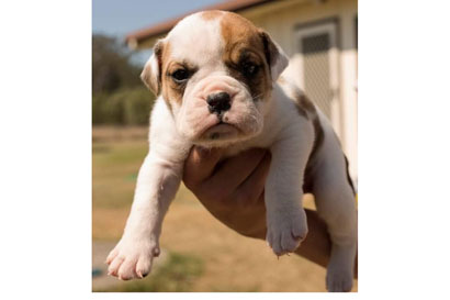 AUSSIE Bulldog puppies for sale $1200 Ready to go now, RPBA: 635 Please ph