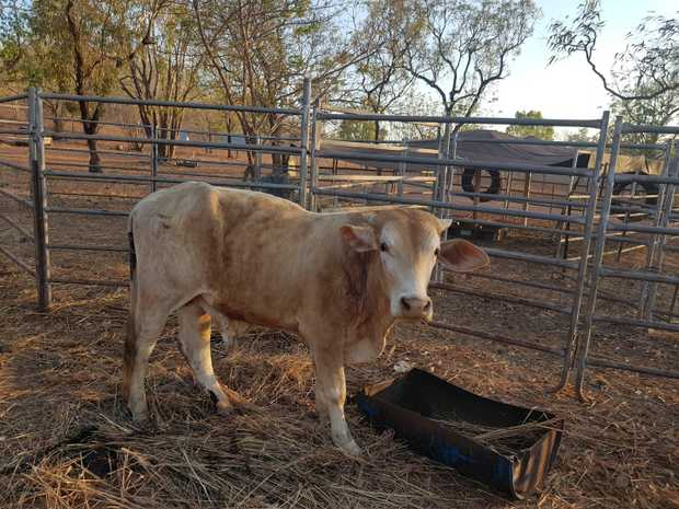 2 Y Old Uncastrated Bull   Mother is Brahman Drought. Master Cross. Father Romagnola. Hand Fed...