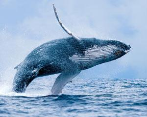 Get on board this Whale Watching Cruise from Mooloolaba for close encounters with magnificent Hump Back...