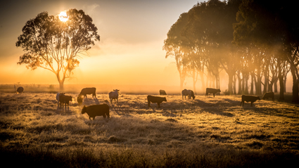 FOR SALE   Clarence Valley Ultrablack Bulls   Grafton NSW   Call Josh Green for more...