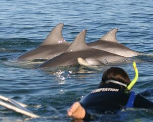 Witnessing dolphins playing in their natural environment is so often a life-enhancing experience. You...