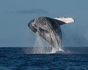 Truly an experience you will never forget. Our Whale Watching tour gives you the opportunity to witness...