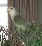 $500 REWARD! LOST LOVEBIRD, WOODVILLE GARDENS 5012
