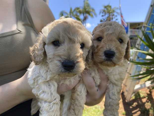 Generation 2 spoodle puppies. Ready to go 23rd feb. bin 0005773472472  vaccinated microchipped wormed...