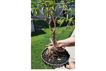 STOLEN 14/1, Coop St. Bonsai Morton Bay fig plant, sentimental value. Phone 0409992284