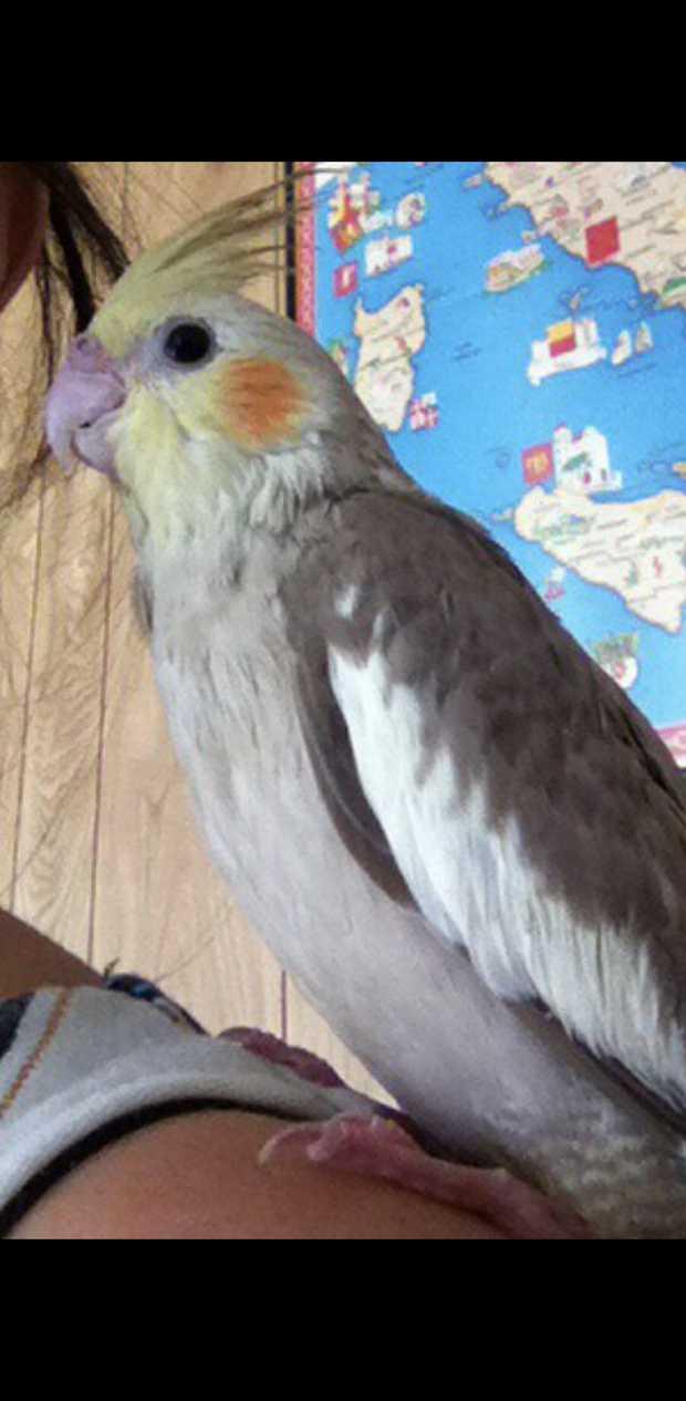 Type: male cockatiel Name: Romeo Date lost : 3/2/20 Last seen : Craiglea street...