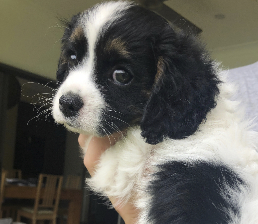 Tri colour Adorable and fluffy Cavoodle Pups. Mother is Tri colour Cavoodle. Father is Blenheim...