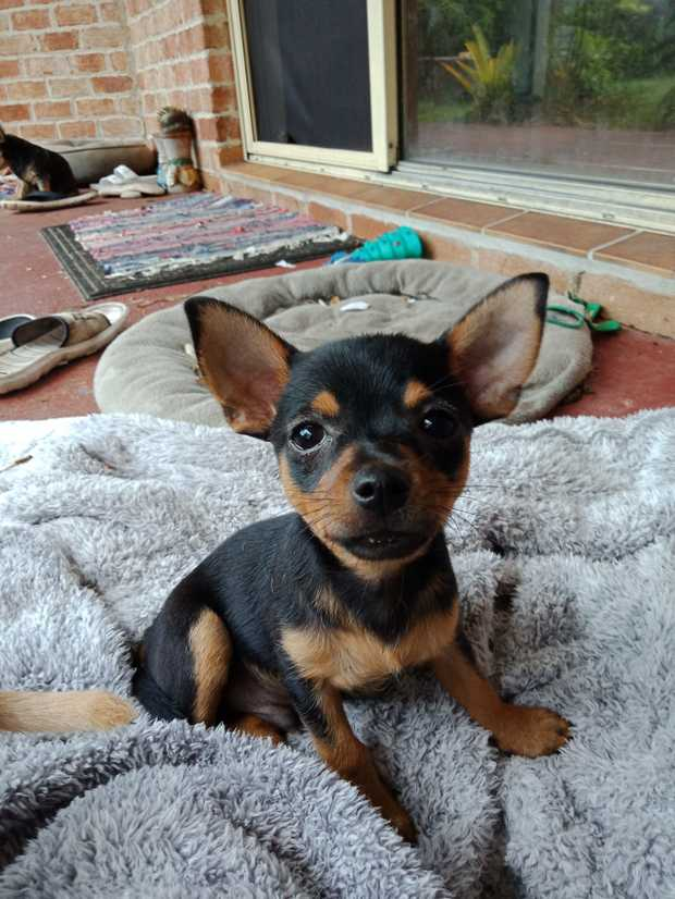 1 x Female 2 x male Purebred Standard Chihuahua puppies. Have been vaccinated ,microchipped and wormed...