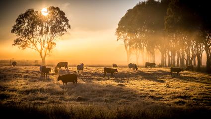 POLL HEREFORDS Bulls & Heifers For Sale