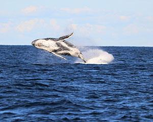 Experience the excitement of seeing whales in their natural environment while spending the afternoon...