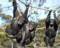 For the ultimate zoo experience, go on safari just outside of Adelaide and meet the chimps in this...