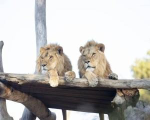 For the ultimate zoo experience, go on safari just outside of Adelaide and get up close with the lion...