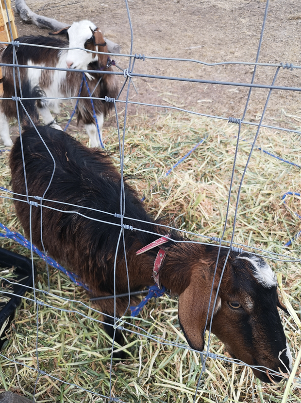 2 Nubian dwarf goats for sale, male, desexed and dehorned. These friendly boys are brothers, great with...