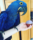 CUDDLY TAME BABY HYACINTH MACAW PARROT AVAILABLE !