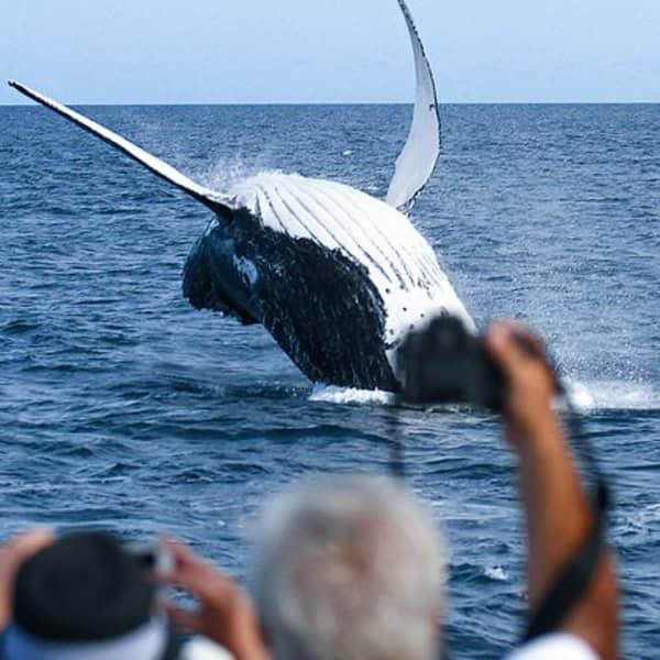 Get up close and personal with the majestic 40-tonne Humpback Whales as they migrate along the East...