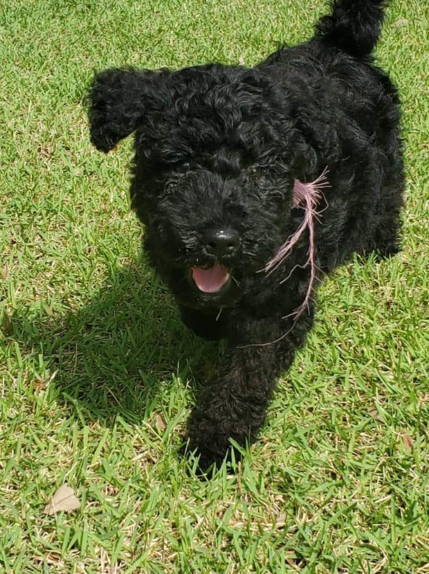 Litter of 8 fluffy Kerry Blue Terrier puppies looking for a loving and forever home, they are ready to...