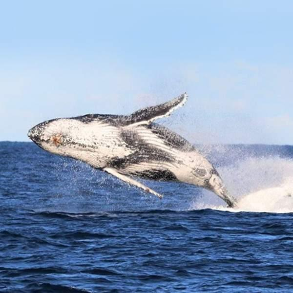 Marvel at these incredible animals as they frolic and swim in the tranquil waters of the Pacific Ocean!