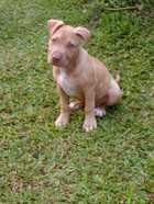 American Staffordshire Cross Female Pup